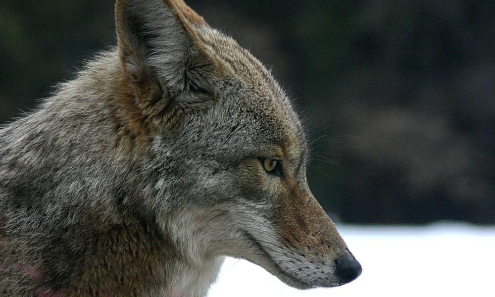 Coyote Portrait Of Head