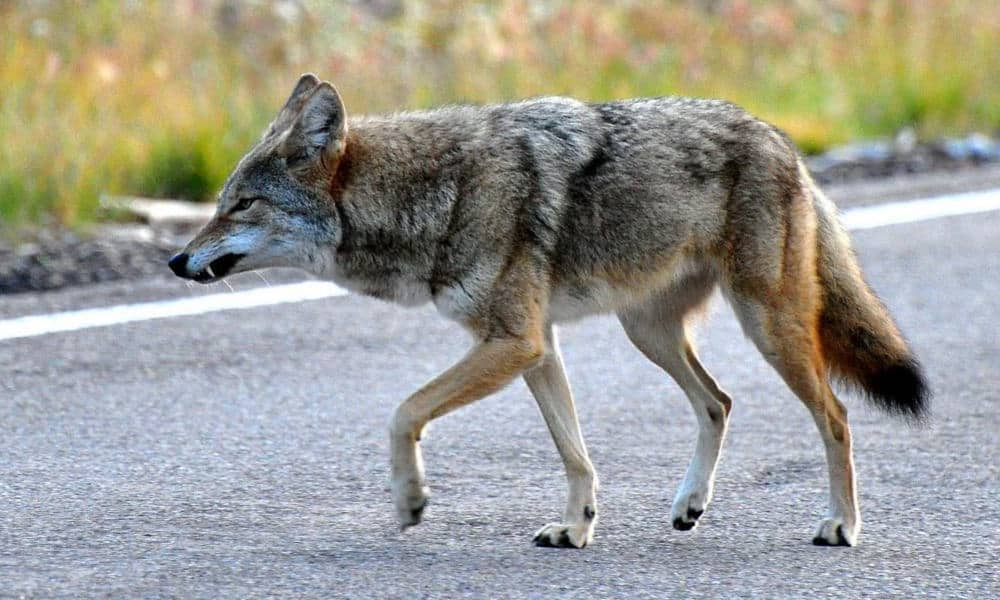Coyote grinning, showing teeth
