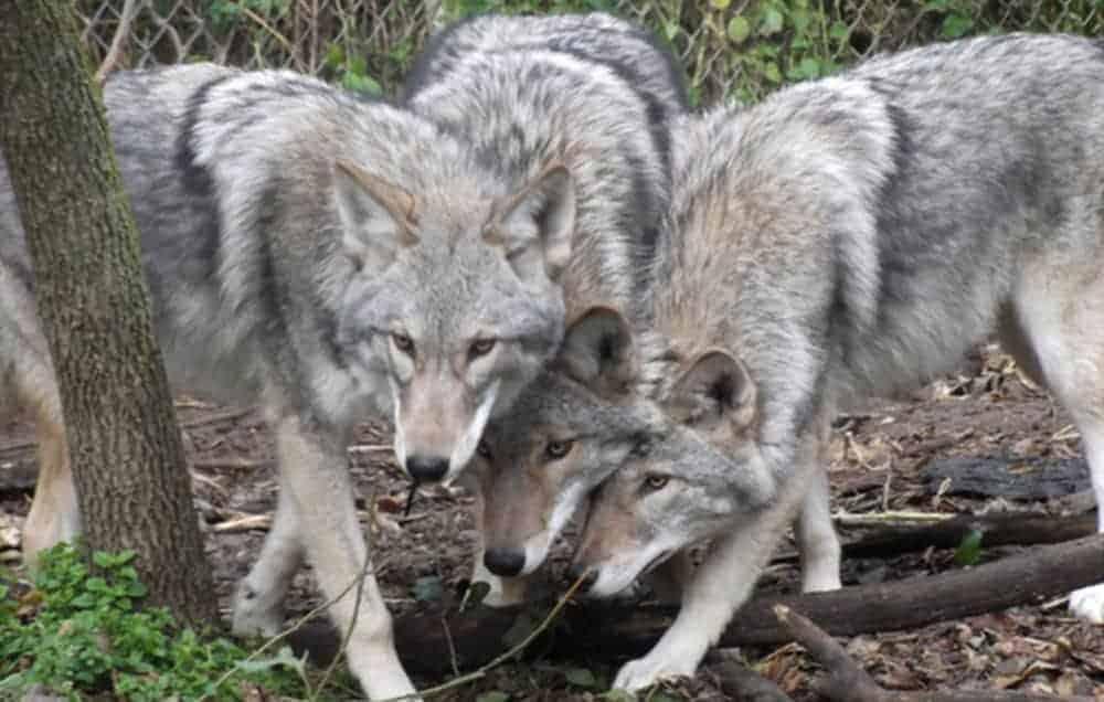 Coywolf - Coyote Wolf hybrid