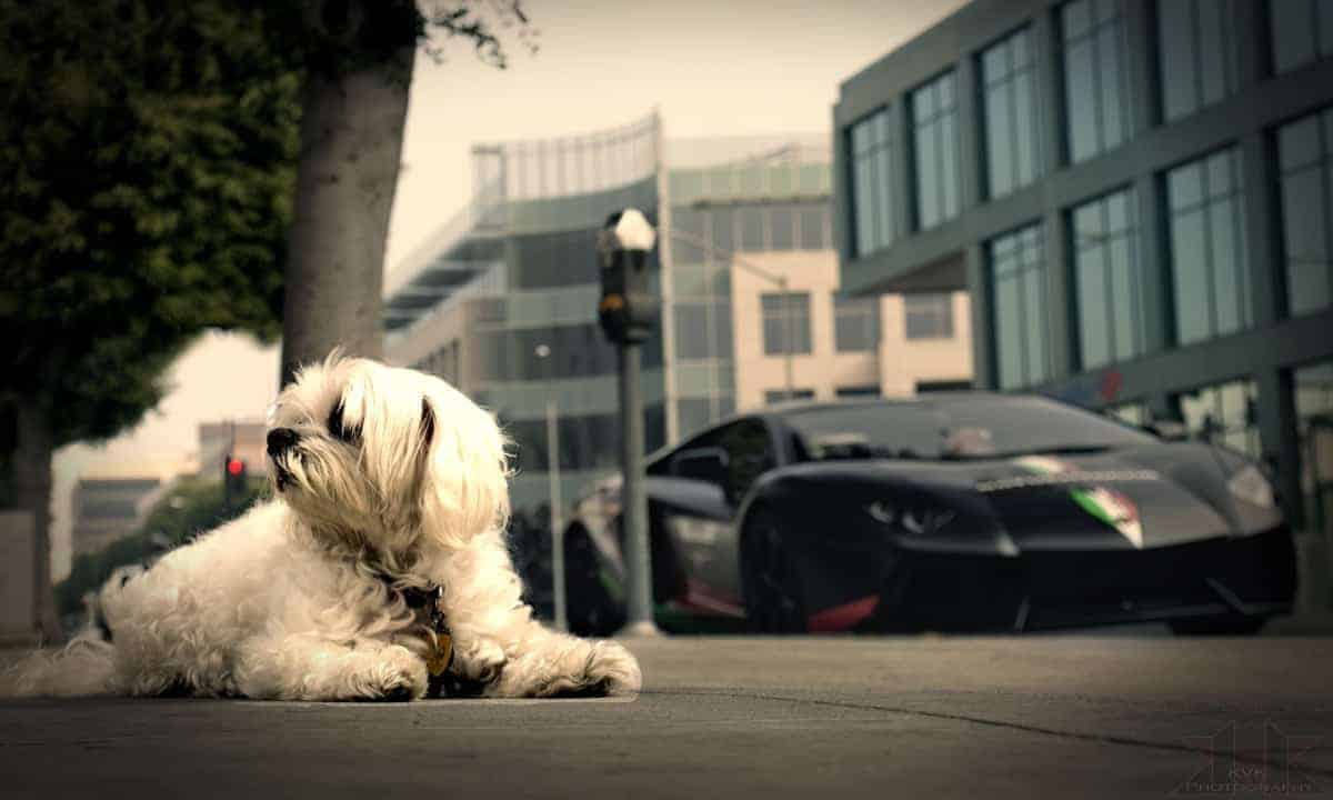 Dog Lambo Supercar